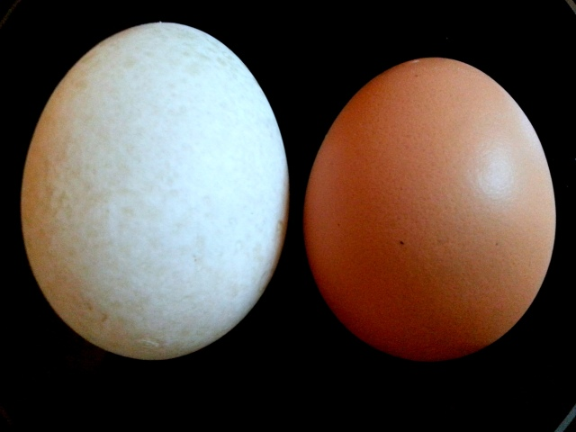 Duck Egg and Chicken Egg Comparison